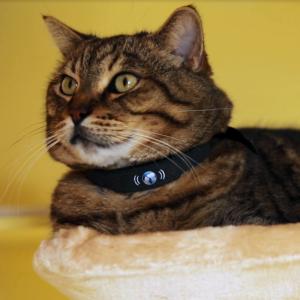 cat with petTracer gps cat collar